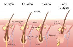 שלבי צמיחת השיער